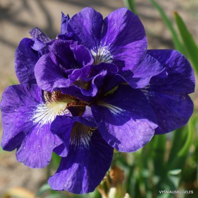 Iris 'Kabluey' (5)