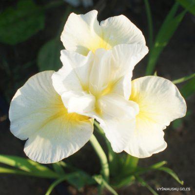 Iris 'Lemon Blush' (2)
