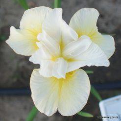 Iris 'Lemon Blush'