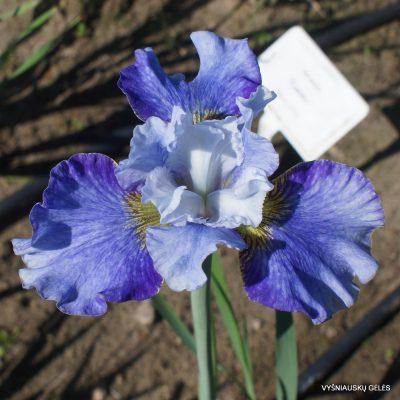 Iris 'Rauchblau'