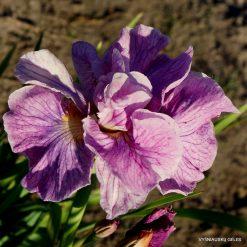 Iris 'Tornado Rose'