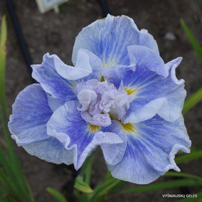 Iris ensata 'Wawe Action'