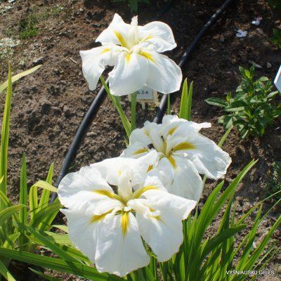Iris ensata 'White Ladies' (2)