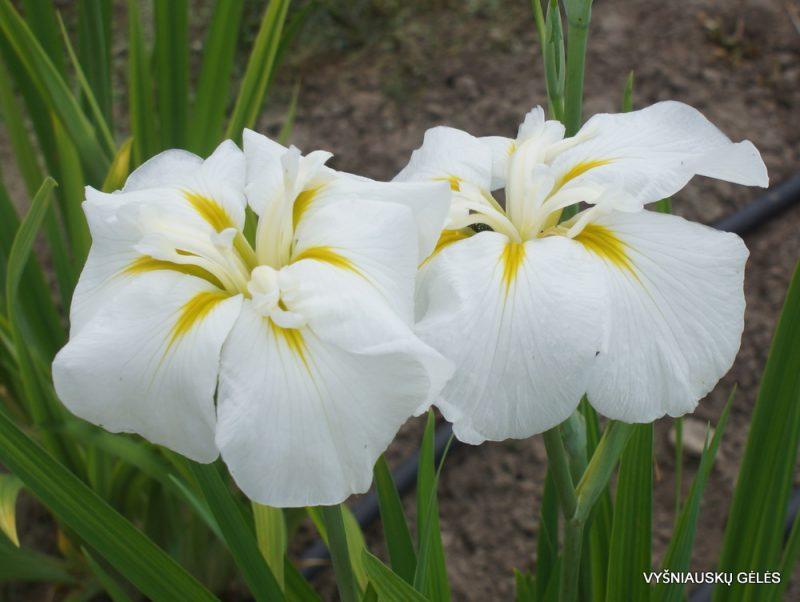 Iris ensata 'White Ladies' (3)