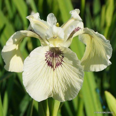 Iris pseudacorus 'Sushi'