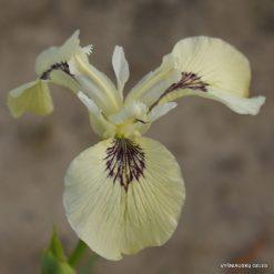 Iris pseudacorus 'Sushi' (2)