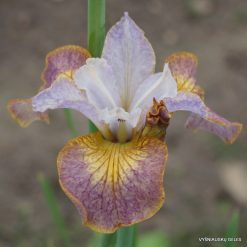 Iris sibirica 'Colours of Ostrava'