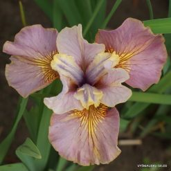 Iris sibirica 'Evening Comes'