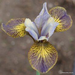 Iris sibirica 'Huntress' (2)