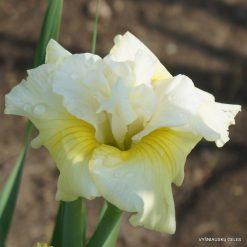 Iris sibirica 'In Full Sail' (2)