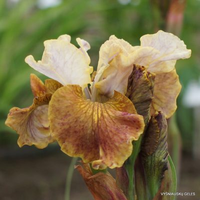 Iris sibirica 'Jerry Murphy' (2)