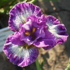 Iris sibirica 'Judy Judy Judy'