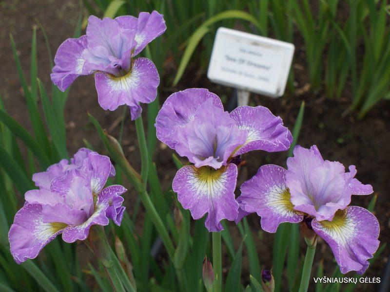 Iris sibirica 'Lavender Fair' (4)