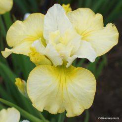Iris sibirica 'Lemon Mousse'