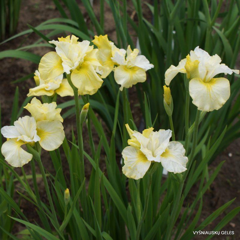 Iris sibirica 'Lemon Mousse' (5)