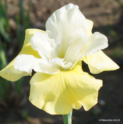 Iris sibirica 'Pas De Deux' (2)