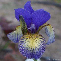 Iris sibirica 'Pennywhistle'