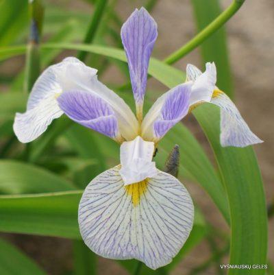 Iris versicolor 'Cascade Mist'