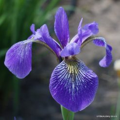 Iris versicolor 'China West Lake'