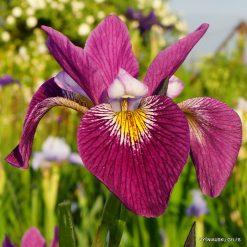 Iris versicolor 'John Wood'