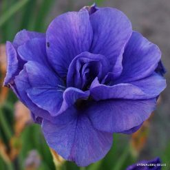 iris 'Blueberry Torte' (2)