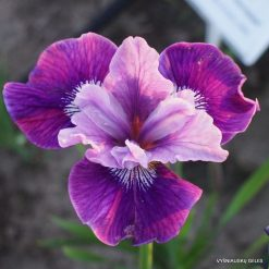 iris 'Lady Vanessa'