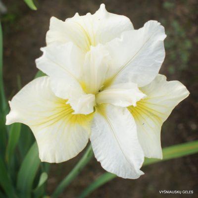 iris 'Moon Silk'