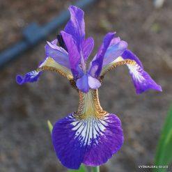 iris 'Ottawa'