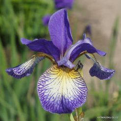 iris 'Pennywhistle'