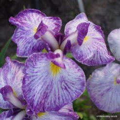 iris ensata 'Silesian Pinwheel'