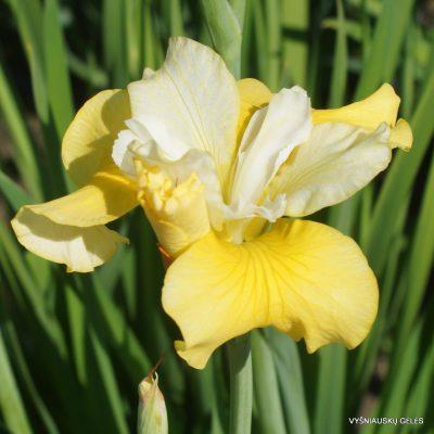 iris sibirica 'Hello Yellow' (2)