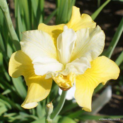 iris sibirica 'Hello Yellow'