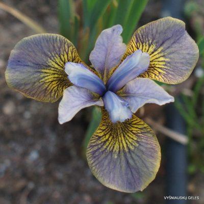 siberian iris 'Huntress'