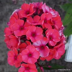 Phlox 'Orange Spät'