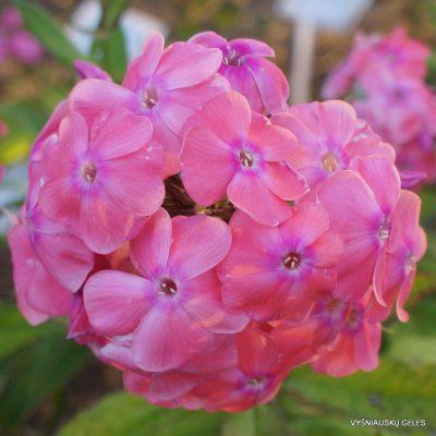Phlox 'Rosa Dauer'