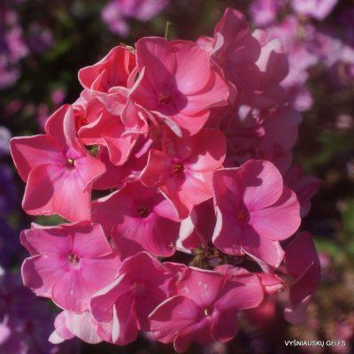 Phlox 'Rosendom'