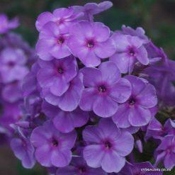 Phlox 'Victorian Lilac'