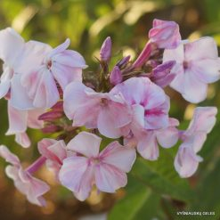 Phlox 'Willow Lodge'