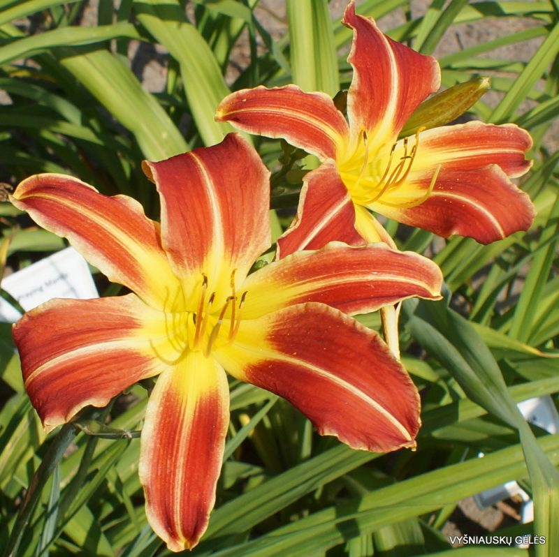 Daylily 'A Little Fire, Scarecrow' (2)