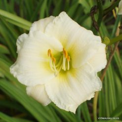 Daylily 'Accentuate The Green'