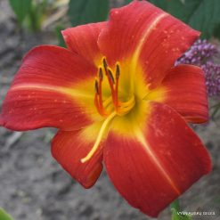 Daylily 'Al's Red Tower'