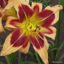 Daylily 'Brihgt Eyed and Bushy Tailed'