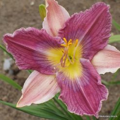 Daylily 'Carolina Bound'