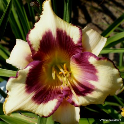 Daylily 'Clarity of Vision' (2)