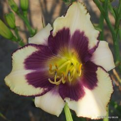 Daylily 'Clarity of Vision'