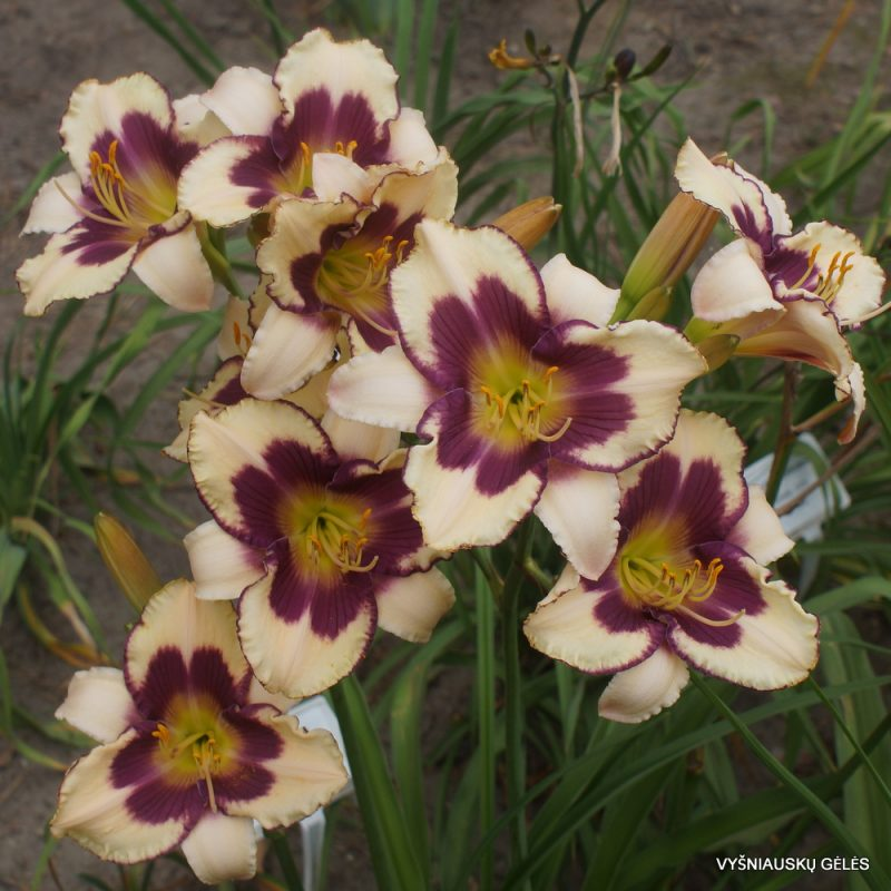 Daylily 'Clarity of Vision' (3)