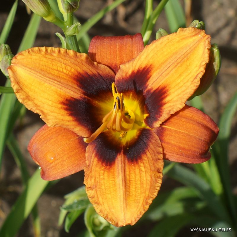 Daylily 'Currypeppers' (2)