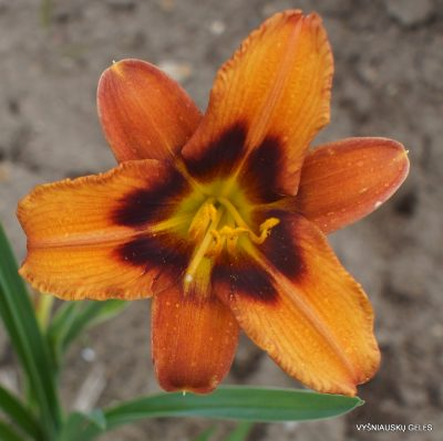 Daylily 'Currypeppers'