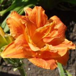Daylily 'Decatur Double Doozy'