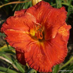 Daylily 'Desert Flame'